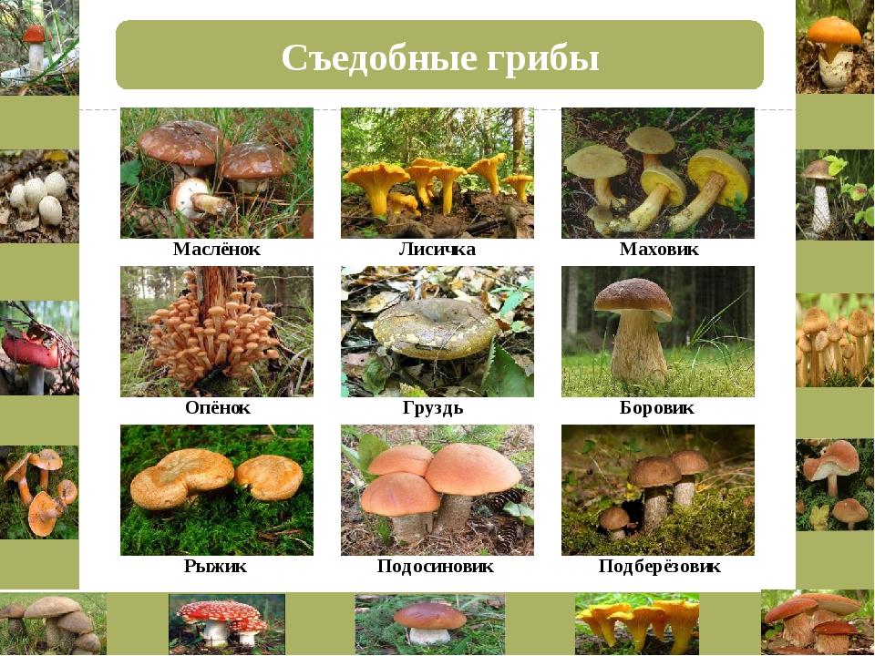 Съедобные грибы Маслёнок Лисичка Маховик Опёнок Груздь Боровик Рыжик Подосино...
