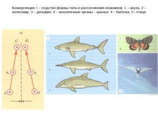 Конвергенция: I – сходство формы тела и расположения плавников: 1 – акула, 2