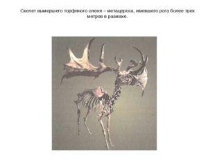 Скелет вымершего торфяного оленя – метацероса, имевшего рога более трех метро