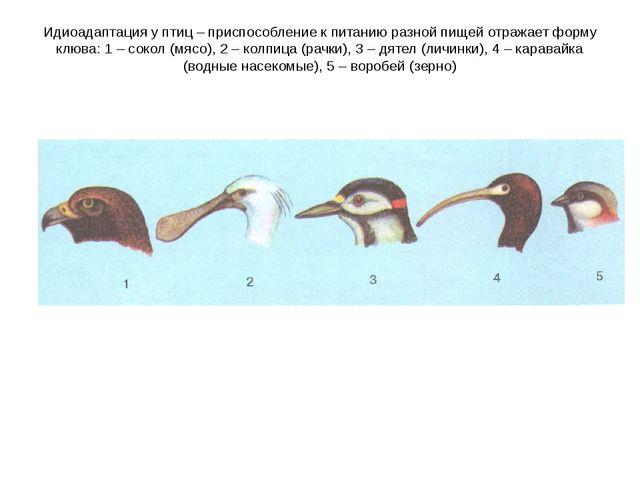 Идиоадаптация у птиц – приспособление к питанию разной пищей отражает форму к...