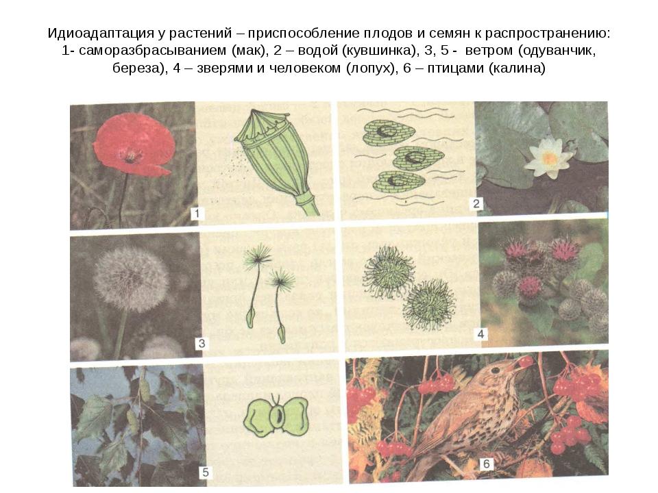 Идиоадаптация у растений – приспособление плодов и семян к распространению: 1...