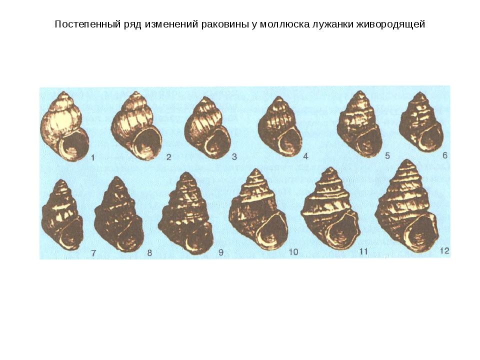 Постепенный ряд изменений раковины у моллюска лужанки живородящей