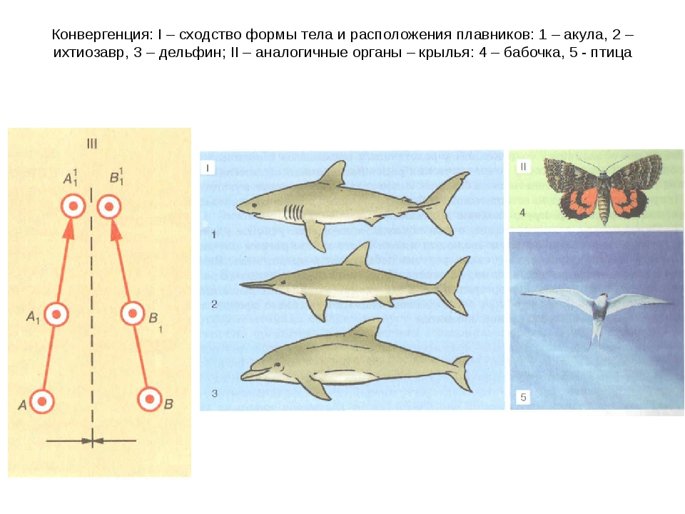 Конвергенция: I – сходство формы тела и расположения плавников: 1 – акула, 2...
