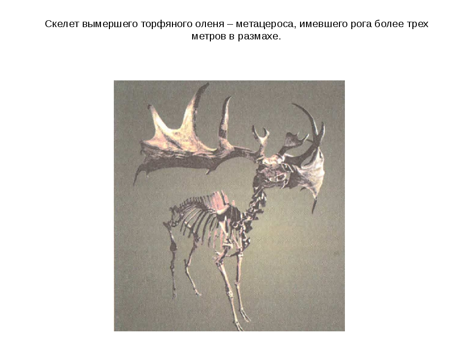 Скелет вымершего торфяного оленя – метацероса, имевшего рога более трех метро...