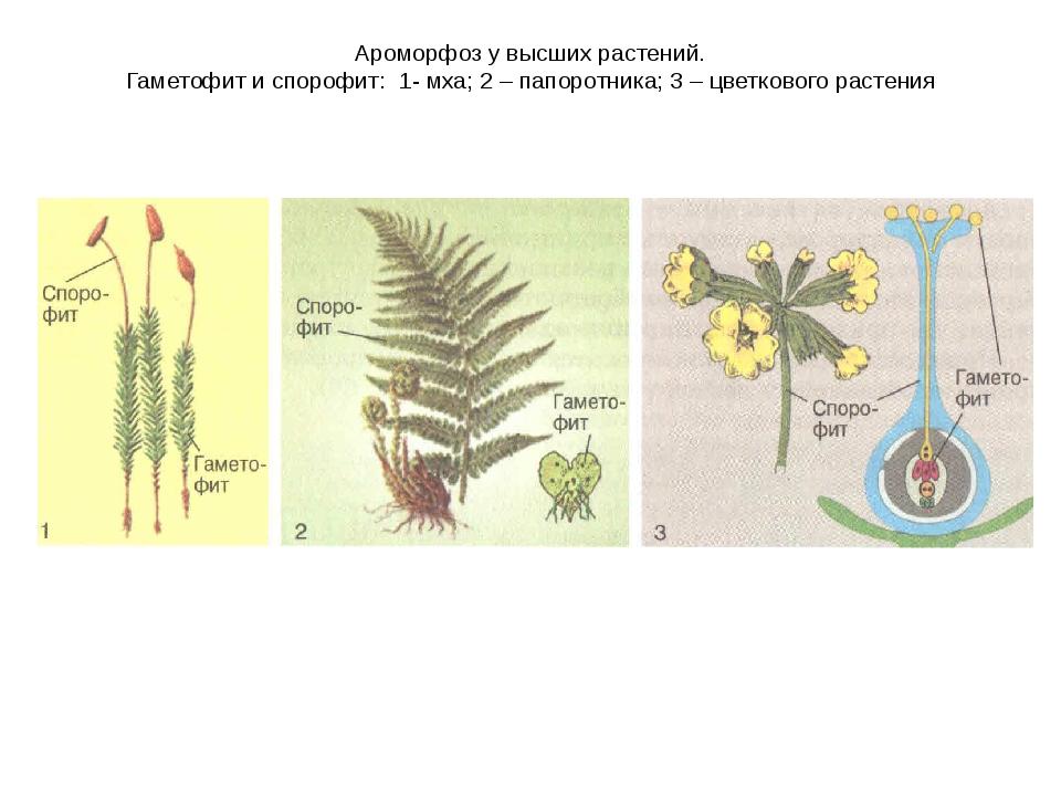 Ароморфоз у высших растений. Гаметофит и спорофит: 1- мха; 2 – папоротника; 3...