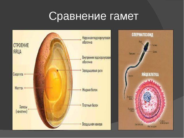 Сравнение гамет
