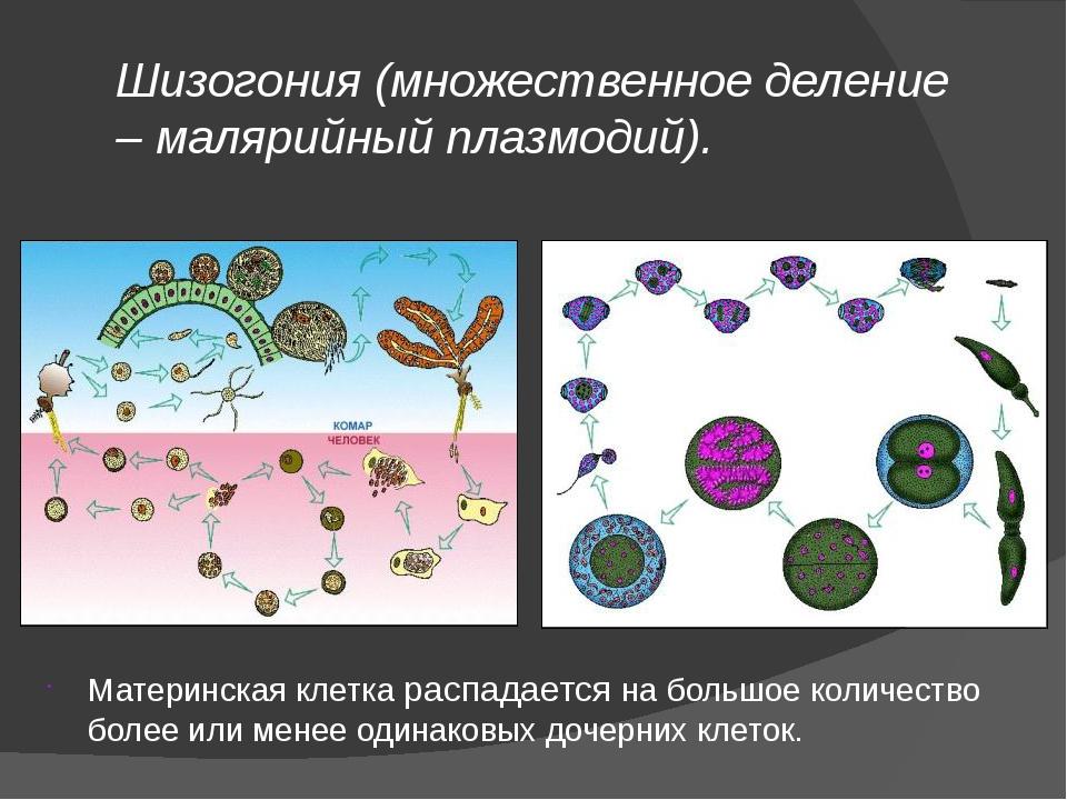 Шизогония (множественное деление – малярийный плазмодий). Материнская клетка...