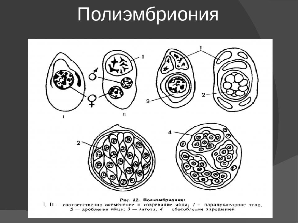 Полиэмбриония