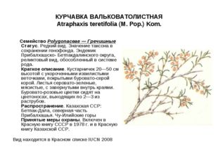 КУРЧАВКА ВАЛЬКОВАТОЛИСТНАЯ Atraphaxis teretifolia (M. Pop.) Kom. СемействоPo
