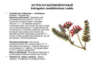 АСТРАГАЛ БЕЛОВОЙЛОЧНЫЙ Astragalus candidissimus Ledeb. Семейство Fabaceae — Б