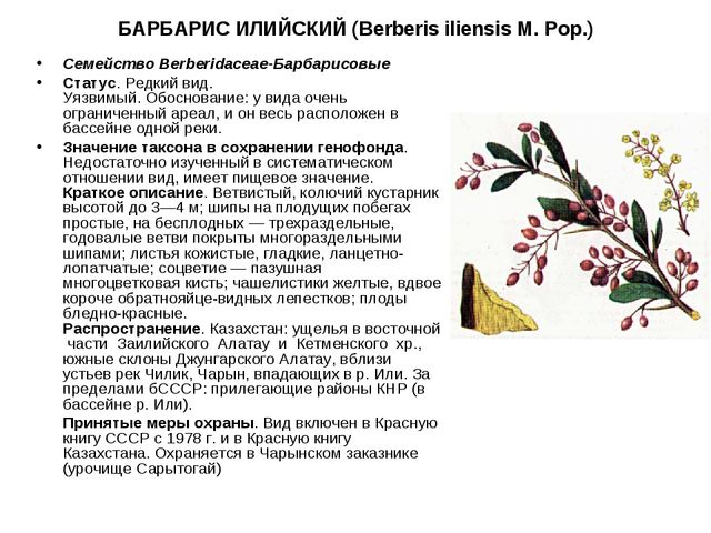 БАРБАРИС ИЛИЙСКИЙ (Berberis iliensis M. Pop.) СемействоBerberidaceae-Барбари...