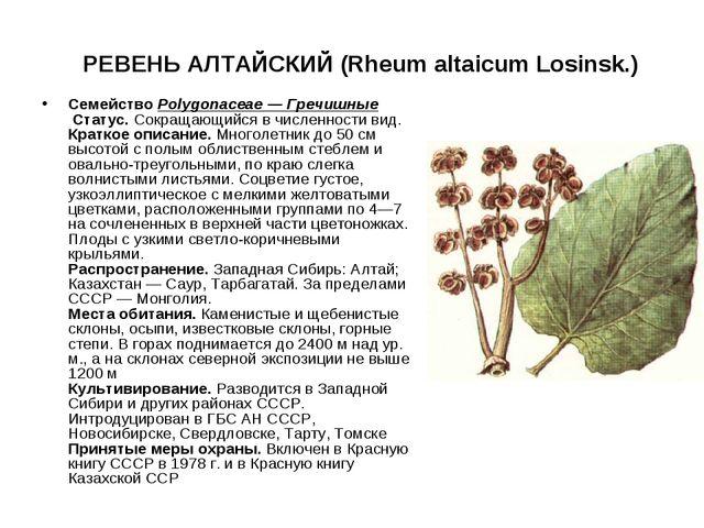 РЕВЕНЬ АЛТАЙСКИЙ (Rheum altaicum Losinsk.) СемействоPolygonaceae — Гречишны...