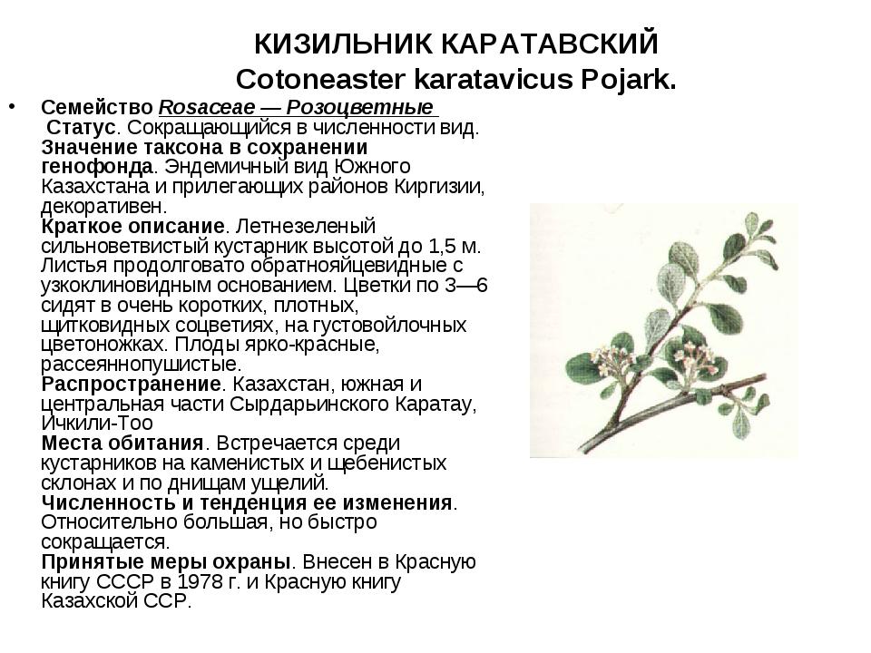 КИЗИЛЬНИК КАРАТАВСКИЙ Cotoneaster karatavicus Pojark.   СемействоRosaceae...
