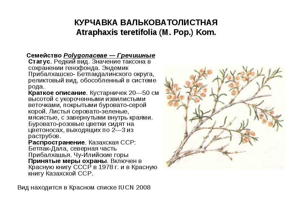 КУРЧАВКА ВАЛЬКОВАТОЛИСТНАЯ Atraphaxis teretifolia (M. Pop.) Kom. СемействоPo...