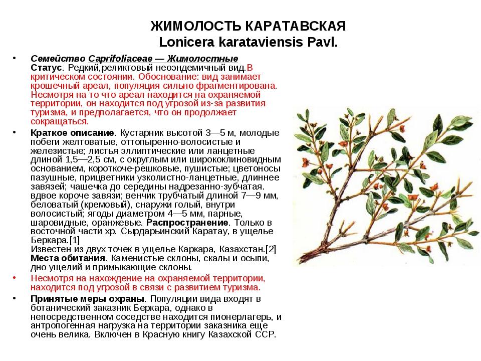 ЖИМОЛОСТЬ КАРАТАВСКАЯ Lonicera karataviensis Pavl. СемействоCaprifoliaceae —...