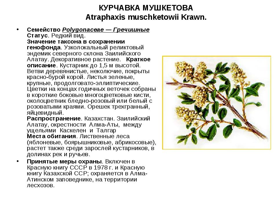 КУРЧАВКА МУШКЕТОВА Atraphaxis muschketowii Krawn. СемействоPolygonaceae — Гр...