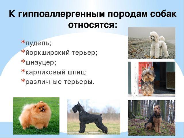 К гиппоаллергенным породам собак относятся: пудель; йоркширский терьер; шнауц...