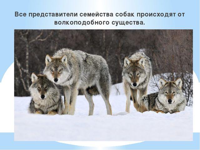 Все представители семейства собак происходят от волкоподобного существа.