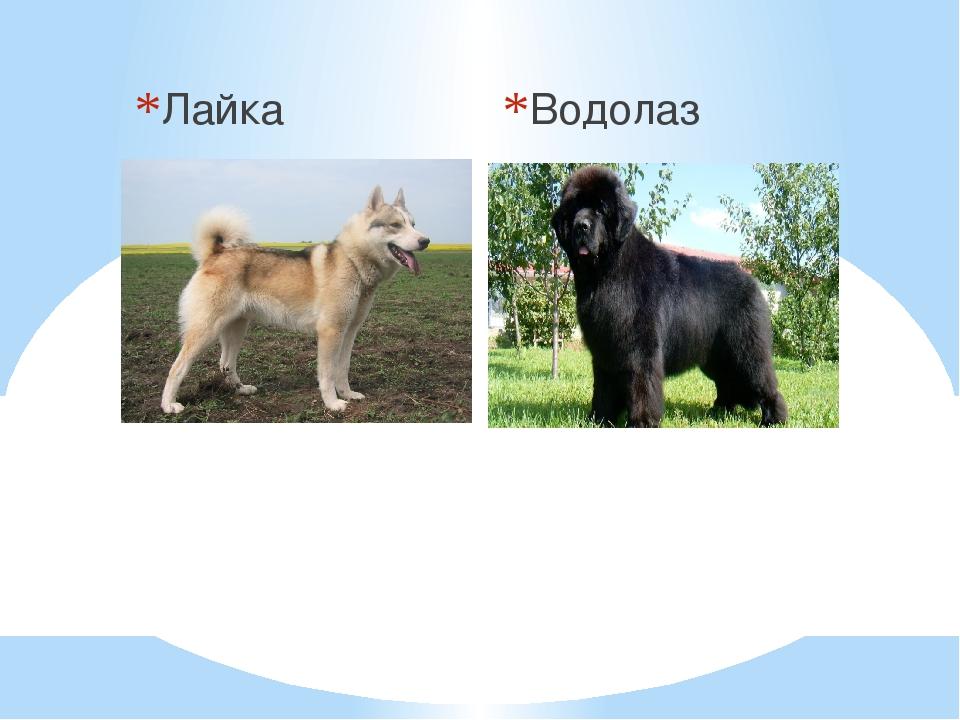 Лайка Водолаз