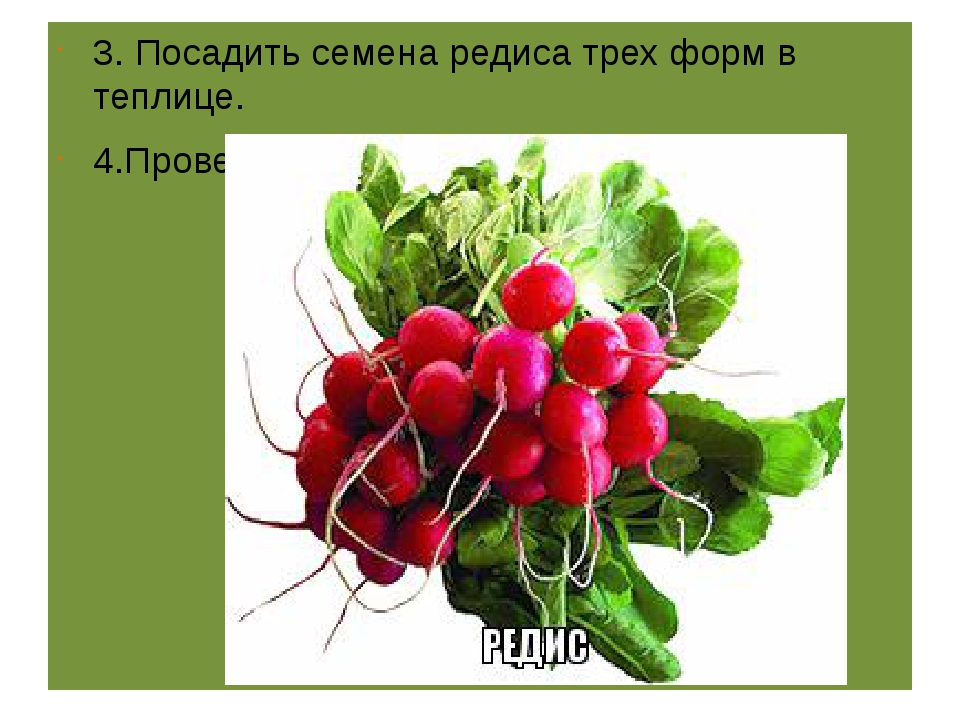 3. Посадить семена редиса трех форм в теплице. 4.Провести наблюдения , сдела...