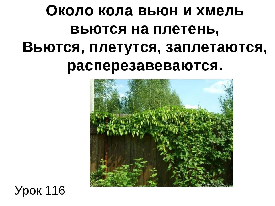 Урок 116 Около кола вьюн и хмель вьются на плетень, Вьются, плетутся, заплет...