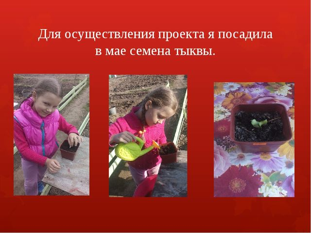 Для осуществления проекта я посадила в мае семена тыквы.