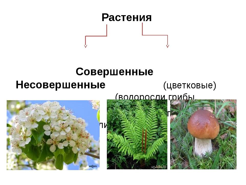 Растения Совершенные Несовершенные (цветковые) (водоросли,грибы, попаротники,...