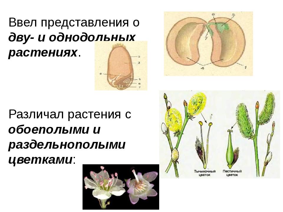 Ввел представления о дву- и однодольных растениях. Различал растения с обоепо...