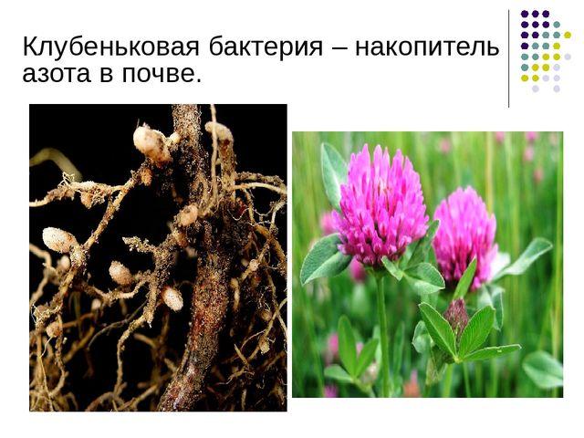 Клубеньковая бактерия – накопитель азота в почве.