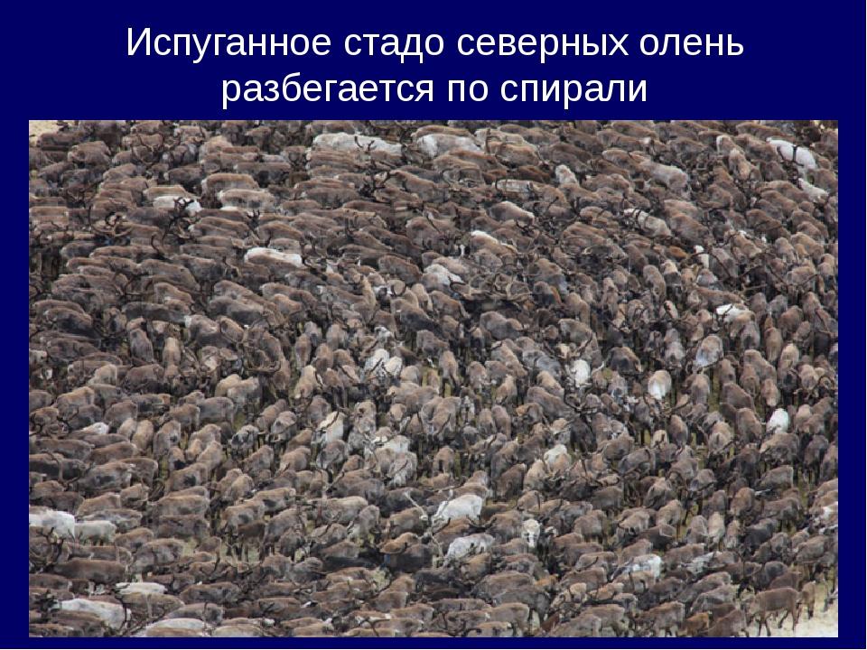 Испуганное стадо северных олень разбегается по спирали