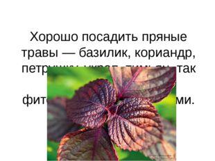 Хорошо посадить пряные травы — базилик, кориандр, петрушку, укроп, тимьян, та