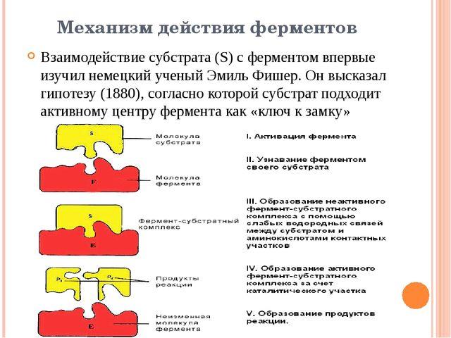 Механизм действия ферментов Взаимодействие субстрата (S) c ферментом впервые...