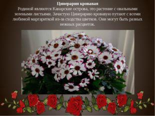Цинерария кровавая Родиной являются Канарские острова, это растение с овальны
