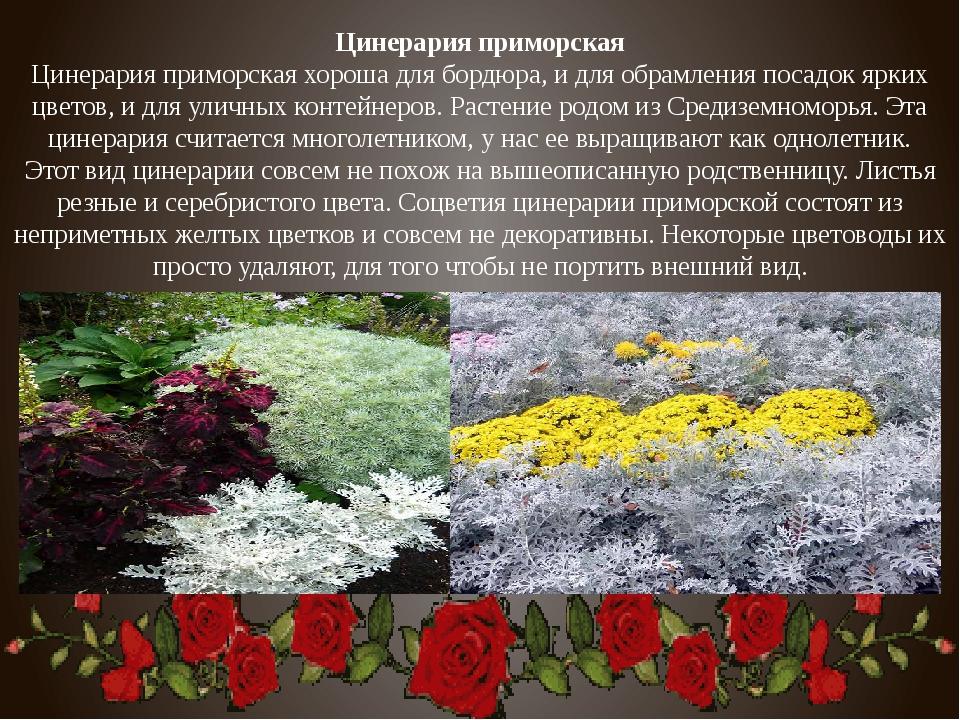 Цинерария приморская Цинерария приморская хороша для бордюра, и для обрамлени...