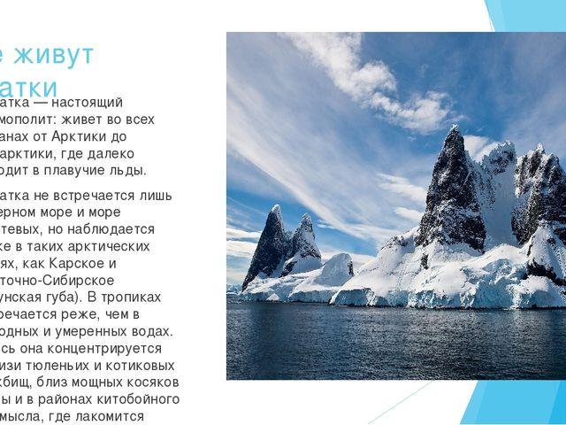 Где живут касатки Касатка — настоящий космополит: живет во всех океанах от Ар...