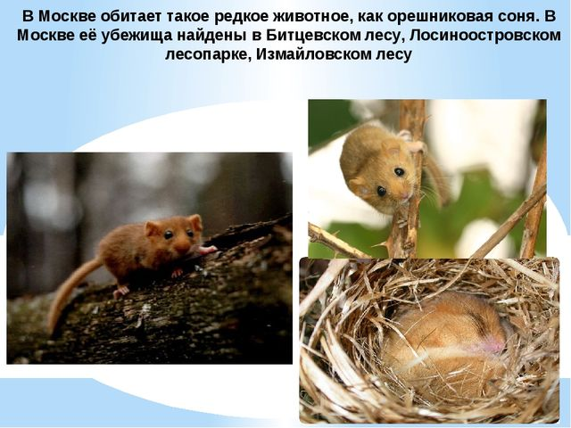 В Москве обитает такое редкое животное, какорешниковая соня. В Москве её убе...