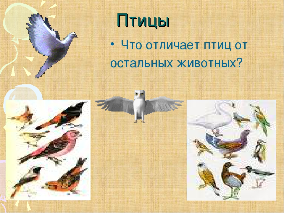 Птицы Что отличает птиц от остальных животных?