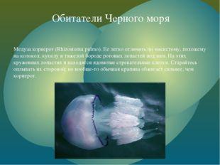 Медуза корнерот (Rhizostoma pulmo). Ее легко отличить по мясистому, похожему