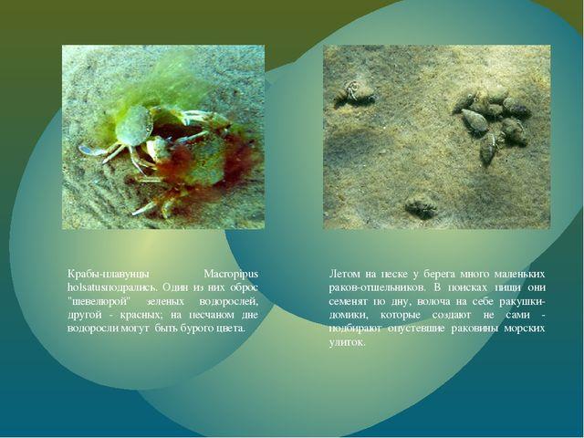"""Крабы-плавунцы Macropipus holsatusподрались. Один из них оброс """"шевелюрой"""" зе..."""