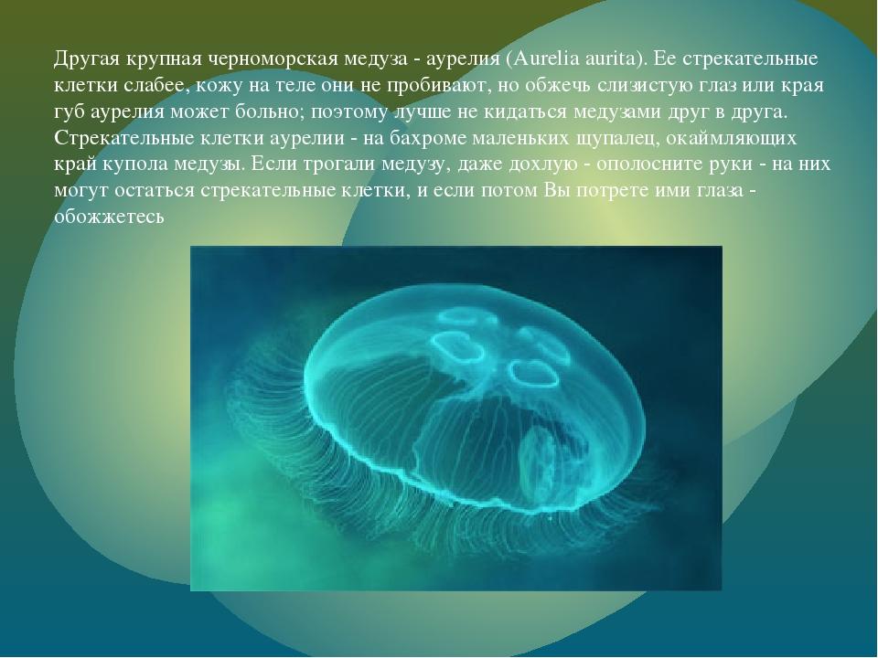 Другая крупная черноморская медуза - аурелия (Aurelia aurita). Ее стрекательн...