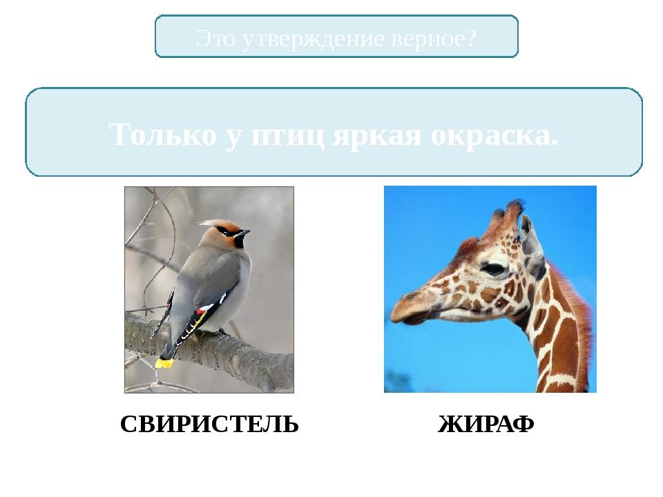 Это утверждение верное? Только у птиц яркая окраска. СВИРИСТЕЛЬ ЖИРАФ