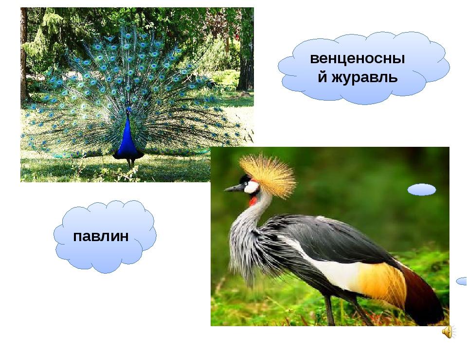 павлин венценосный журавль