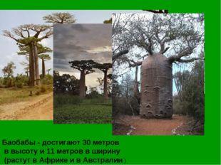 Баобабы - достигают 30 метров в высоту и 11 метров в ширину (растут в Африке