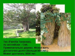 Тис (Familia Taxaceae), по английски – Oak. Примечательно дерево. Может жить