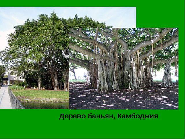 Дерево баньян, Камбоджия