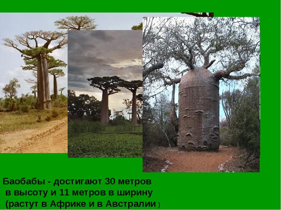Баобабы - достигают 30 метров в высоту и 11 метров в ширину (растут в Африке...