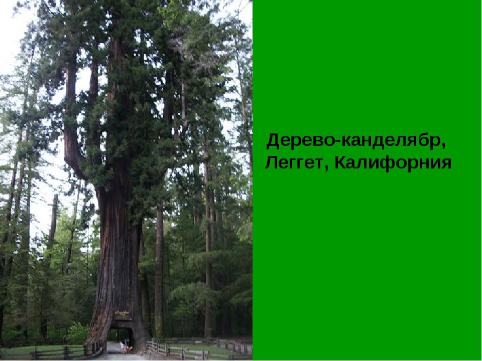 Дерево-канделябр, Леггет, Калифорния
