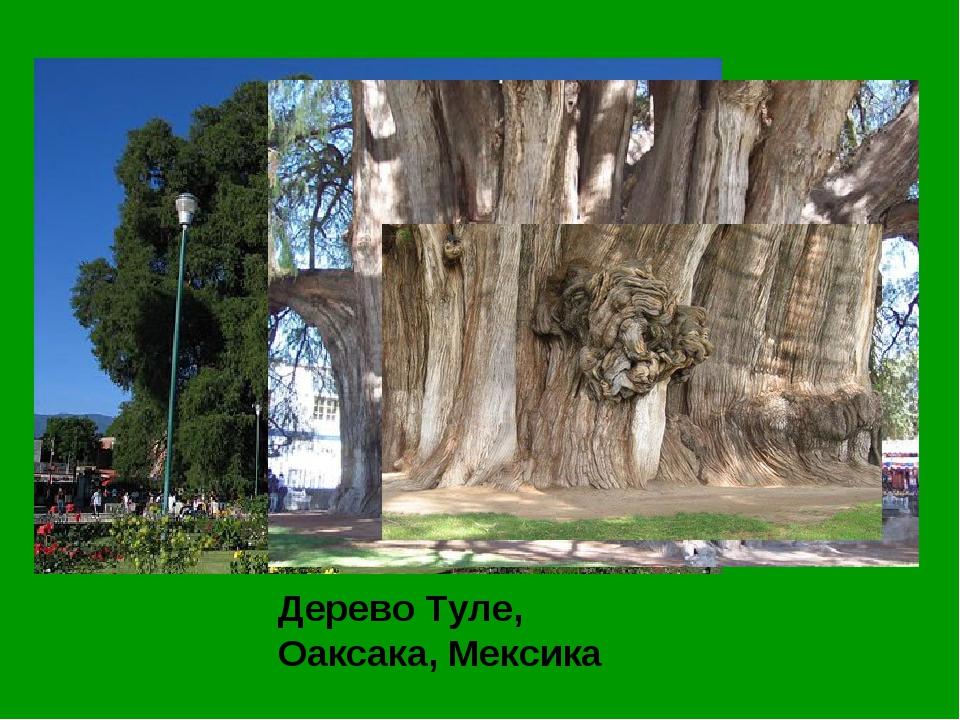Дерево Туле, Оаксака, Мексика