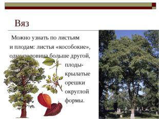 Вяз Можно узнать по листьям и плодам: листья «кособокие», одна половина боль