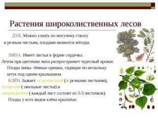 Растения широколиственных лесов ДУБ. Можно узнать по могучему стволу и резным